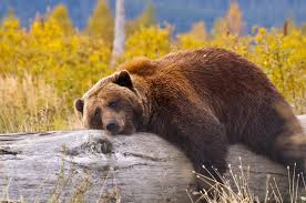 a bear laying on a trunk wallpaper