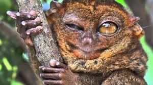 true facts about the tarsier
