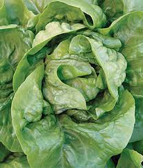 buttercrunch organic lettuce seeds and plants vegetable gardening