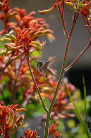 Hummingbird Plant 320 Best Hummingbirds Images On Pinterest Humming Birds