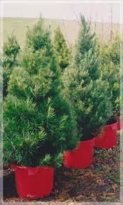 potted christmas tree live potted christmas trees merlino s christmas trees
