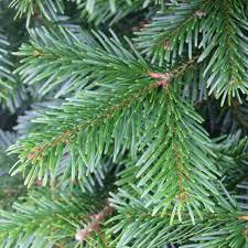real christmas trees nordmann fir real christmas tree available today