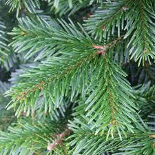 real christmas tree nordman fir real christmas tree from christmas trees