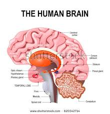 A Picture Of The Human Anatomy Midbrain Stock Images Royalty Free Images U0026 Vectors Shutterstock
