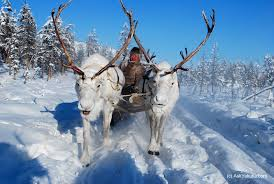 white reindeer and an even herder in oymyakon yakutia si flickr
