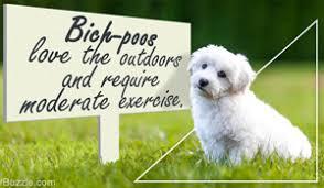 bichon frise 20 pounds history of the bichon frise dog breed