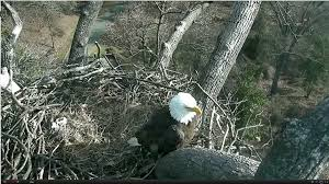 Live Bedroom Cam Video Eagle Cam Captures The First Lady Laying 1st Egg Of 2017 Wtop