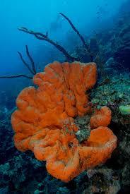 Azure Vase Sponge Facts Orange Elephant Ear Sponge This Sponge Is Orange Phylum Porifera