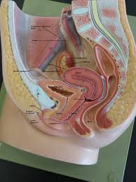 male reproductive system and organs human anatomy pinterest