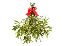 christmas plant the enduring of mistletoe a parasite named after bird