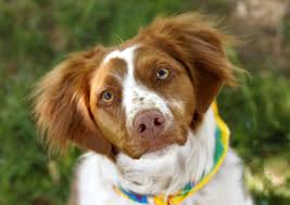 Do Brittany Spaniels Shed by Brittany Dog Breed Gallery