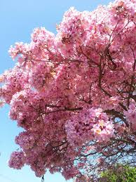 tree with pink flowers pink flowering tree