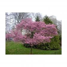 Flowering Cherry Shrub - autumn flowering higan cherry tree potted 3 pack growers solution