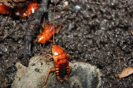 What Are The Red Bugs On Concrete by Turkestan Cockroach Wikipedia