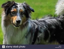 australian shepherd zucht bayern hirtenhund stock photos u0026 hirtenhund stock images alamy