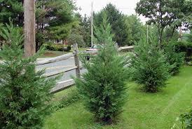 leyland cypress clark bros nursery