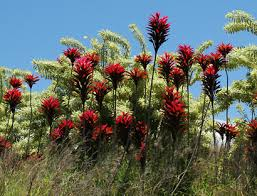 ti plant cordyline fruticosa ti tiplant ti plant ki hawaiian