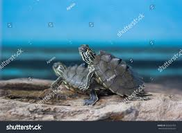 Ringed Map Turtle The Map Turtle And Sawback Ez Pass States Map Map Tx