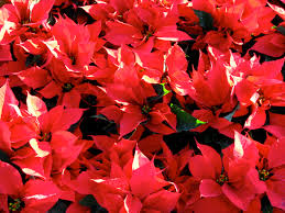 beautiful plants three beautiful red flowering plants for december landscaping san