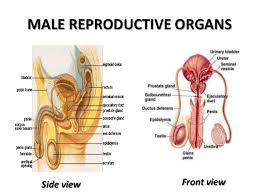 The Anatomy Of The Male Reproductive System Male Reproductive System