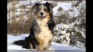 australian shepherd tri australian shepherd tri color youtube