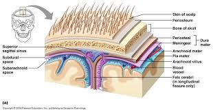 Blood Brain Barrier Anatomy Ch 12 Cerebrospinal Fluid