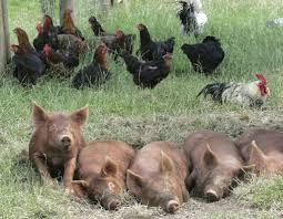 reader u0027s question what can chickens eat