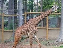 turtle back zoo light show 2017 beloved turtle back zoo giraffe dies after medical procedure nj com