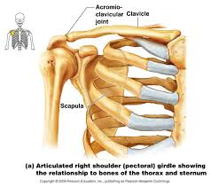 anatomy of the sternum choice image learn human anatomy image