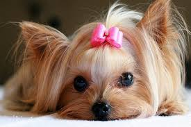dog ribbon pink ribbon q what is the dogs favorite city a new yorkie