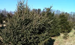 o christmas trees audubon farm unbowed by sandy fairfield citizen