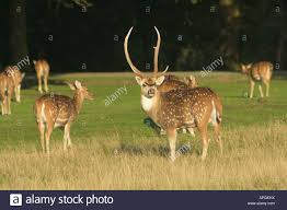 axis deer axis axis stag with family stock photo royalty