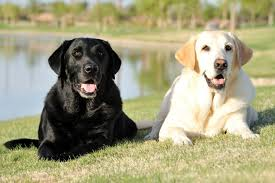 what is the healthiest dog food for labrador retrievers pet guide