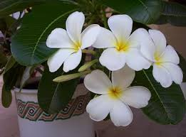 Tropical Flowers And Plants - growing tropical flowers and fruits in the phoenix arizona and
