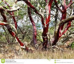manzanita trees bark of manzanita tree stock photo image 48040744
