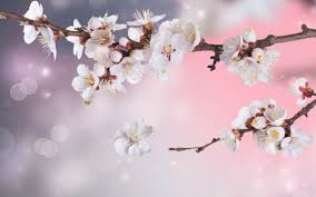 morning blossom wallpapers cool blossom hd wallpapers backgrounds
