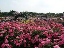 panoramio photo of 京成バラ園 千葉県八千代市 keisei rose