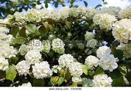 bush small white flowers on stock photos u0026 bush small white