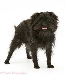 affenpinscher pics dog affenpinscher photo wp15074