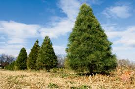 farm facts about evergreens