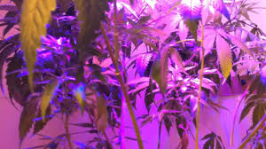 plant light for weed day 4 growing weed indoors 2013 150w led grow light experiment