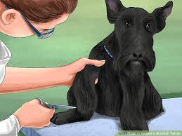 scottish yerrier haircuts 4 ways to groom a scottish terrier wikihow