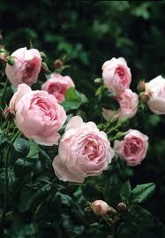 Most Fragrant Plants - one of david austin u0027s top 10 most fragrant english roses u2022 rosa