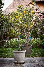 Trees With Pink Flowers Potted Ornamental Trees With Yellow And Pink Flowers In A Garden
