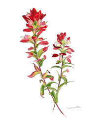 indian paintbrush flower indian paintbrush cliparts free clip free clip