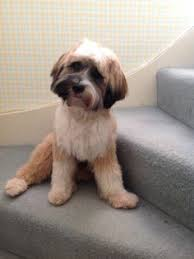 hair cuts for the tebelan terrier tibetan terrier puppy dogs pinterest tibetan terrier