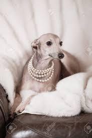 levrette sur canapé ludique greyhound italien sur un canapé avec un jouet à mâcher