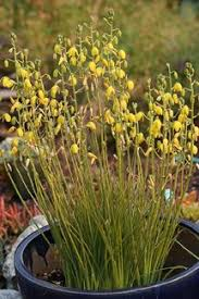 Tropical Fragrant Plants - aethionema schistosum fragrant persian stonecress rock garden