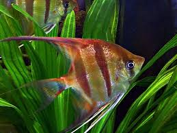 free photo fish ornamental fish water free image on