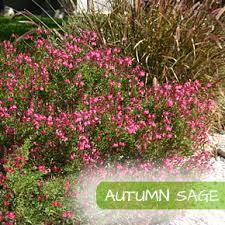 say sí to salvias garden style san antonio landscaping plants
